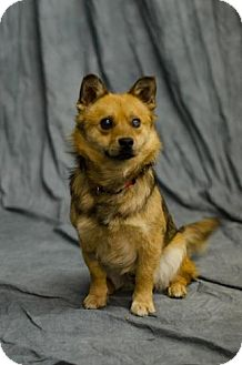 Pomeranian/Terrier (Unknown Type, Small) Mix Dog for adoption in Saskatoon, Saskatchewan - Alfie