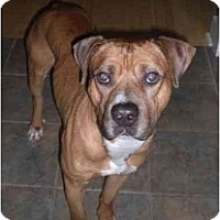 Adopt A Pet :: Boss - Greenville, SC
