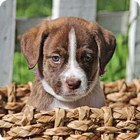 Adopt A Pet :: Stormy - Austin, TX