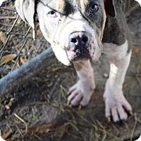 Adopt A Pet :: Eeyore - Bradenton, FL
