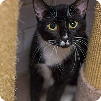Domestic Shorthair Cat for adoption in New York, New York - Keira