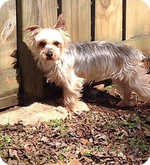 Yorkie, Yorkshire Terrier/Yorkie, Yorkshire Terrier Mix Dog for adoption in Cocoa Beach, Florida - Rhett (in Alabama)