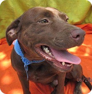 Labrador Retriever/American Bulldog Mix Dog for adoption in Bay Springs, Mississippi - S954 Ollie