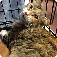 Adopt A Pet :: Diamond - Lunenburg, MA