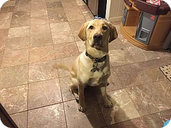 Labrador Retriever Puppy for adoption in Hartland, Michigan - Hunter