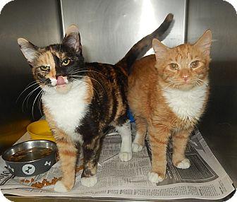 Domestic Shorthair Kitten for adoption in Newport, North Carolina - Jezzebelle and Rambo