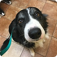 Border Collie Mix Dog for adoption in White Settlement, Texas - Murphy
