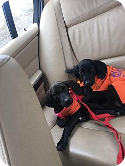 Labrador Retriever/Weimaraner Mix Puppy for adoption in Brooklyn, New York - Dahlia