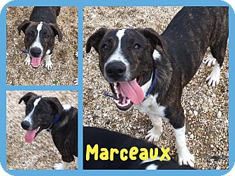 Catahoula Leopard Dog Mix Puppy for adoption in Walker, Louisiana - Marceaux