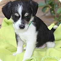 Adopt A Pet :: Taffy - La Habra Heights, CA