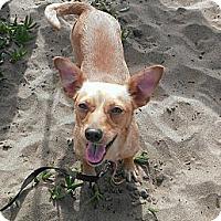 Adopt A Pet :: Polly - San Francisco, CA