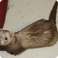 Adopt A Pet :: Gus - Buxton, ME