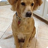 Adopt A Pet :: Goldie - Cheshire, CT