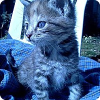 Adopt A Pet :: Tabitha Bottle Baby - Columbus, OH