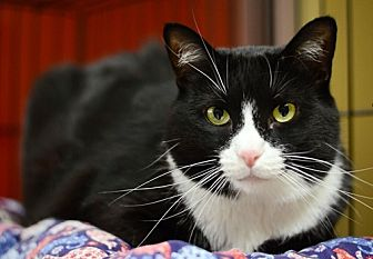 Domestic Shorthair Cat for adoption in Santa Fe, New Mexico - Delphi