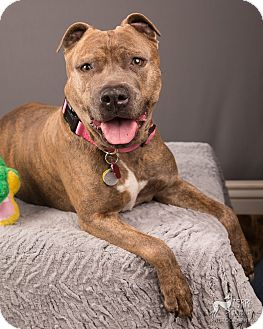 Staffordshire Bull Terrier Rescue Oregon Rosie | Adopted Dog | ...