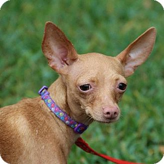 Chihuahua Mix Dog for adoption in Helotes, Texas - Lucy