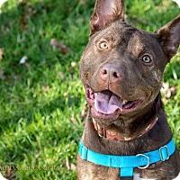 Adopt A Pet :: Razzle - Charlotte, NC