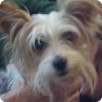 Adopt A Pet :: Chablis - Allentown, PA