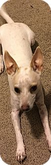 Chihuahua/Italian Greyhound Mix Dog for adoption in Mesa, Arizona - Sherlock