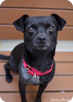 Chihuahua/Jack Russell Terrier Mix Dog for adoption in Los Angeles, California - Coco