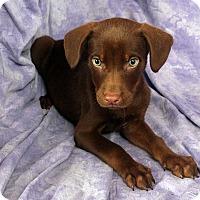 Adopt A Pet :: Elaine Lab Mix - St. Louis, MO