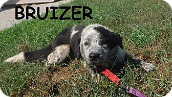 Australian Cattle Dog/Australian Cattle Dog Mix Dog for adoption in Batesville, Arkansas - Bruizer