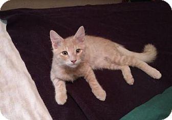 Domestic Shorthair Kitten for adoption in Chandler, Arizona - TOMMY