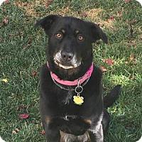 Adopt A Pet :: Maya - St Helena, CA