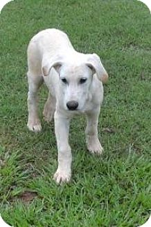 Labrador Retriever/Golden Retriever Mix Dog for adoption in Manchester, New Hampshire - Larry - pending