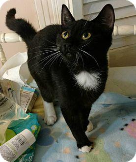 American Shorthair Cat for adoption in Texarkana, Arkansas - Roxy