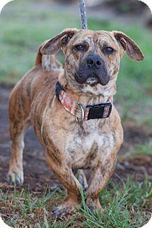 Basset Hound/Pug Mix Dog for adoption in San Diego, California - Kenny
