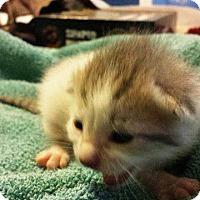 Adopt A Pet :: Aphrodite - Putnam, CT