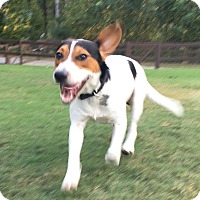 Beagle/Pointer Mix Dog for adoption in Birmingham, Alabama - Bo