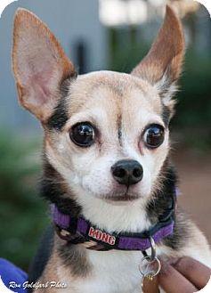 Chihuahua Mix Dog for adoption in Alpharetta, Georgia - Jack