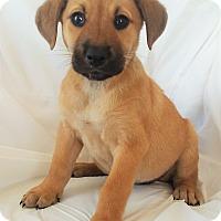 Adopt A Pet :: Cinnamon - Mooresville, NC