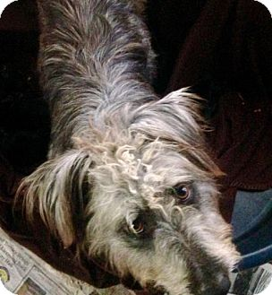 Bearded Collie Mix Dog for adoption in Colton, California - Molly