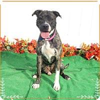 Adopt A Pet :: STORM see also ROUGE - Marietta, GA