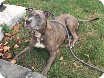 Pit Bull Terrier Mix Dog for adoption in Ardsley, New York - Sheila