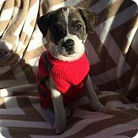 Terrier (Unknown Type, Medium)/Australian Shepherd Mix Puppy for adoption in Matawan, New Jersey - Gritty
