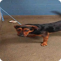 German Shepherd Dog Mix Dog for adoption in Jacksonville, Florida - DAISY