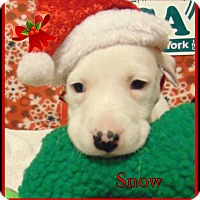 Adopt A Pet :: Snow - Ringwood, NJ