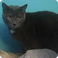 Domestic Shorthair Cat for adoption in Staten Island, New York - Margarita