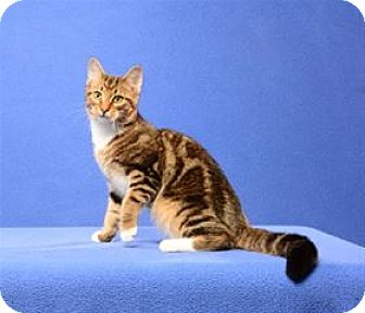 Domestic Shorthair Cat for adoption in Cary, North Carolina - Chip (Kitten)