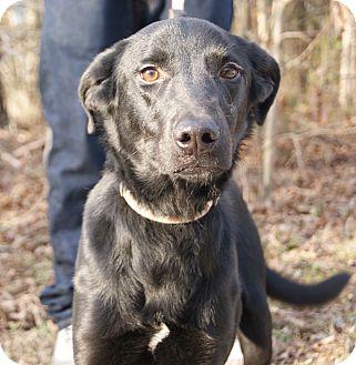 Feist/Labrador Retriever Mix Dog for adoption in Jackson, Tennessee - Jesper