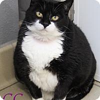 Domestic Shorthair Cat for adoption in Bradenton, Florida - CC