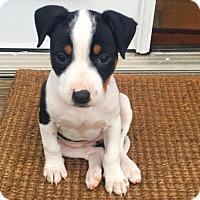 Adopt A Pet :: Crue - Durham, NC