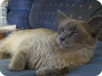 Siamese Cat for adoption in Brea, California - Lila