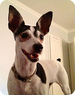 Rat Terrier Mix Dog for adoption in Jacksonville, Florida - Tootsie
