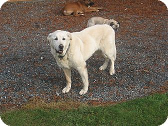 Labrador Retriever Mix Dog for adoption in Bellingham, Washington - Jacob